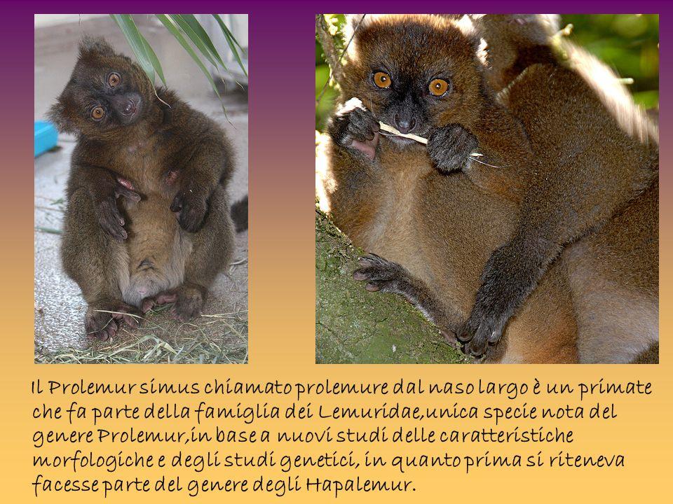 Il Prolemur simus chiamato prolemure dal naso largo è un primate che fa parte della famiglia dei Lemuridae,unica specie nota del genere Prolemur,in base a nuovi studi delle caratteristiche morfologiche e degli studi genetici, in quanto prima si riteneva facesse parte del genere degli Hapalemur.