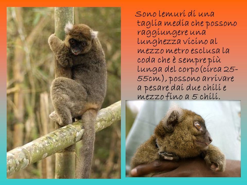 Sono lemuri di una taglia media che possono raggiungere una lunghezza vicino al mezzo metro esclusa la coda che è sempre più lunga del corpo(circa 25-55cm), possono arrivare a pesare dai due chili e mezzo fino a 5 chili.