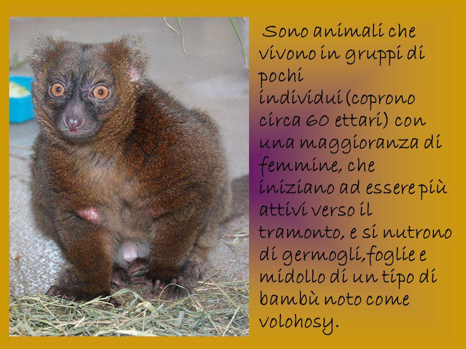 Sono animali che vivono in gruppi di pochi individui(coprono circa 60 ettari) con una maggioranza di femmine, che iniziano ad essere più attivi verso il tramonto, e si nutrono di germogli,foglie e midollo di un tipo di bambù noto come volohosy.