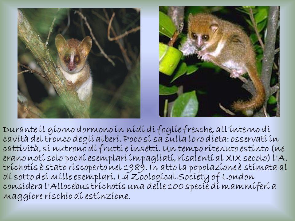 Durante il giorno dormono in nidi di foglie fresche, all interno di cavità del tronco degli alberi.