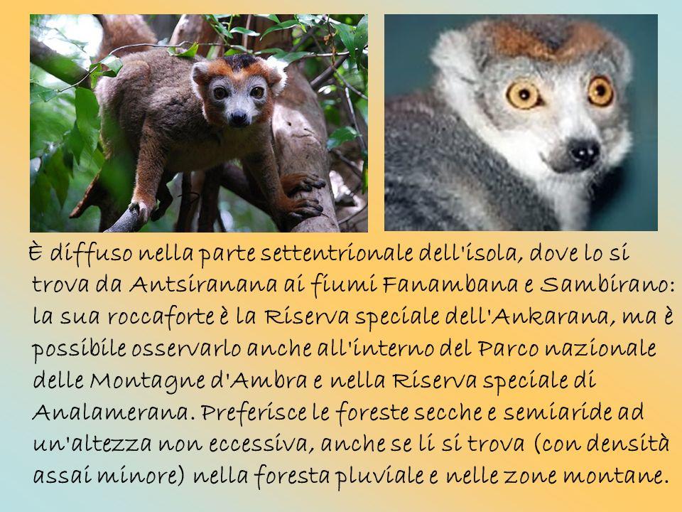 È diffuso nella parte settentrionale dell isola, dove lo si trova da Antsiranana ai fiumi Fanambana e Sambirano: la sua roccaforte è la Riserva speciale dell Ankarana, ma è possibile osservarlo anche all interno del Parco nazionale delle Montagne d Ambra e nella Riserva speciale di Analamerana.