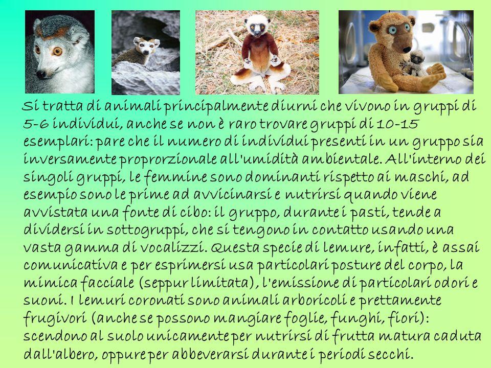 Si tratta di animali principalmente diurni che vivono in gruppi di 5-6 individui, anche se non è raro trovare gruppi di 10-15 esemplari: pare che il numero di individui presenti in un gruppo sia inversamente proprorzionale all umidità ambientale.