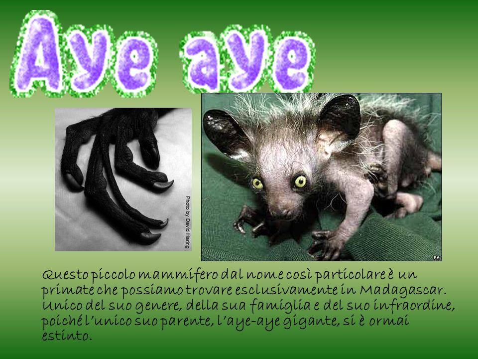 Questo piccolo mammifero dal nome così particolare è un primate che possiamo trovare esclusivamente in Madagascar.