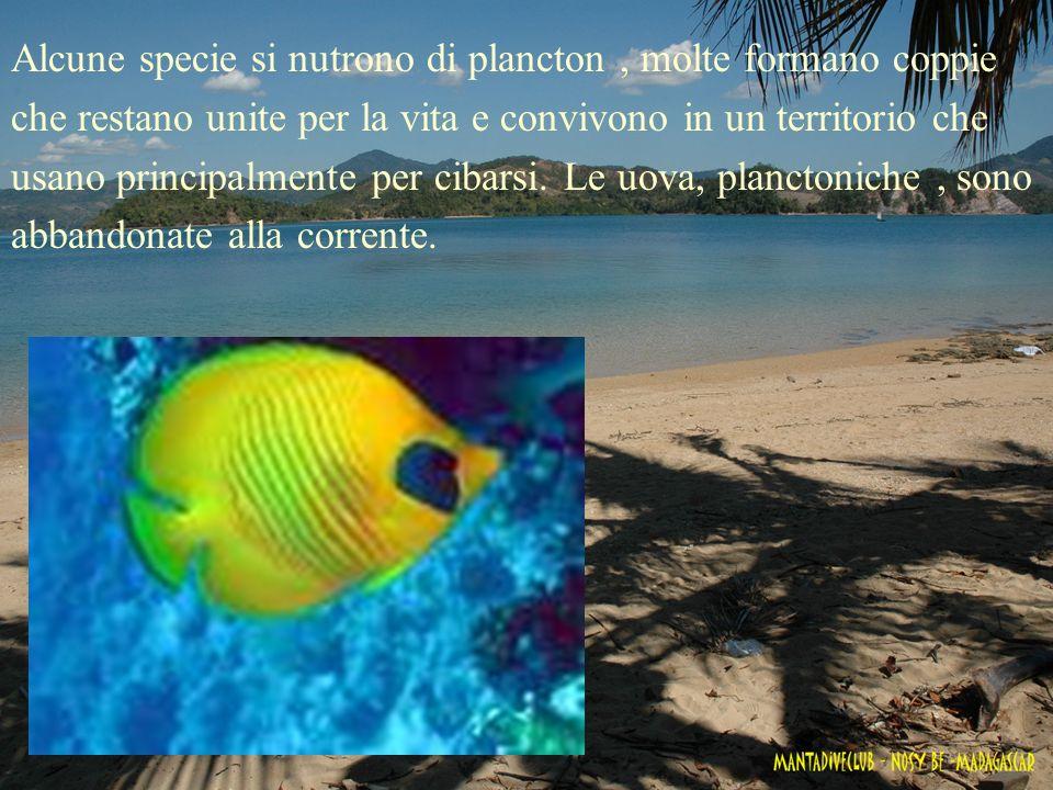 Alcune specie si nutrono di plancton , molte formano coppie