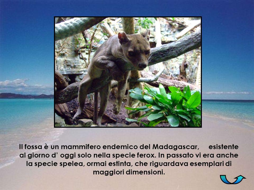 Il fossa è un mammifero endemico del Madagascar, esistente al giorno d' oggi solo nella specie ferox.