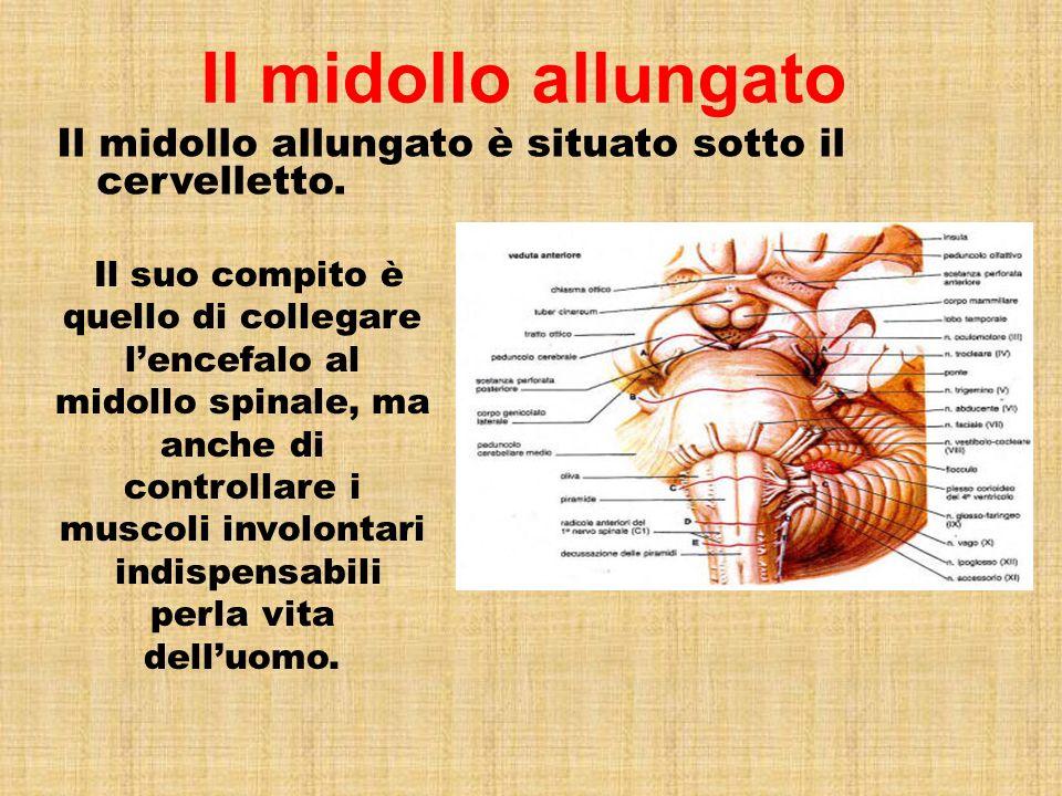 Il midollo allungato Il midollo allungato è situato sotto il cervelletto.