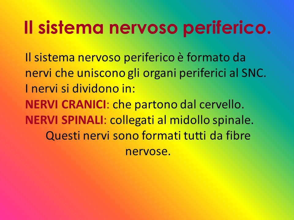 Il sistema nervoso periferico.