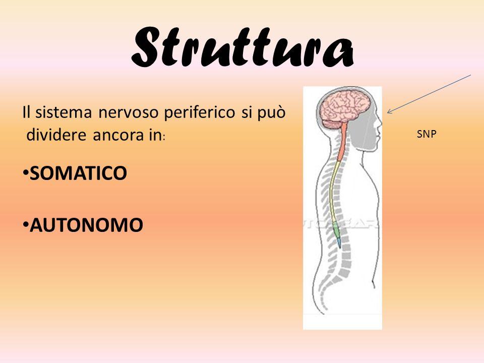 Struttura SOMATICO AUTONOMO Il sistema nervoso periferico si può