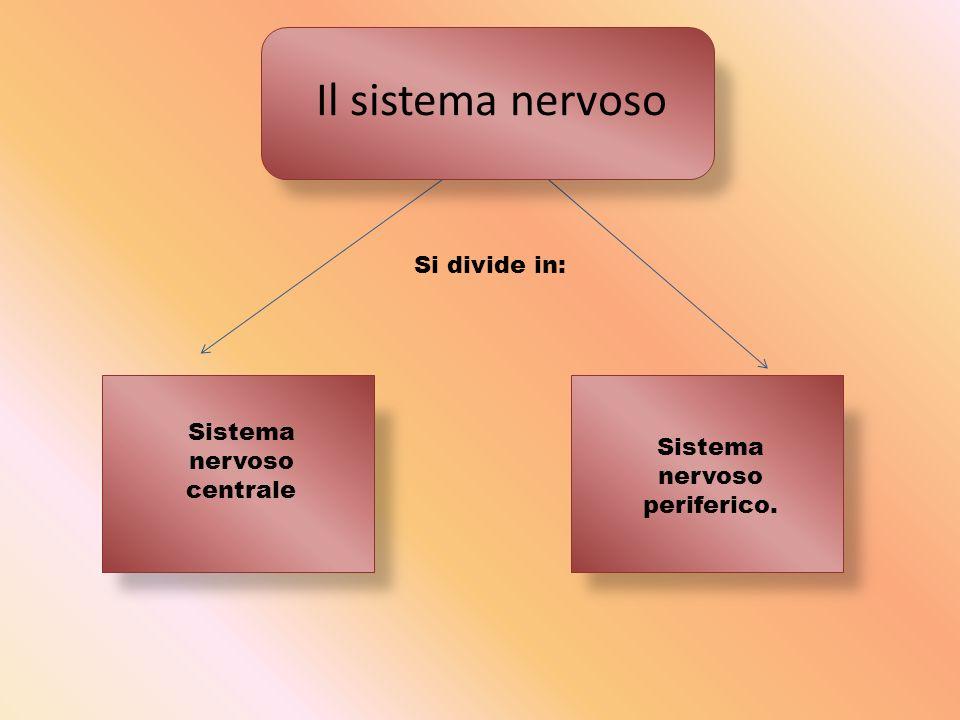 Il sistema nervoso Si divide in: Sistema nervoso centrale