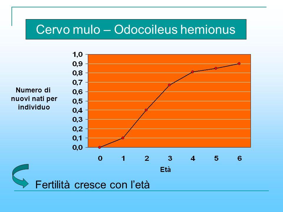 Cervo mulo – Odocoileus hemionus