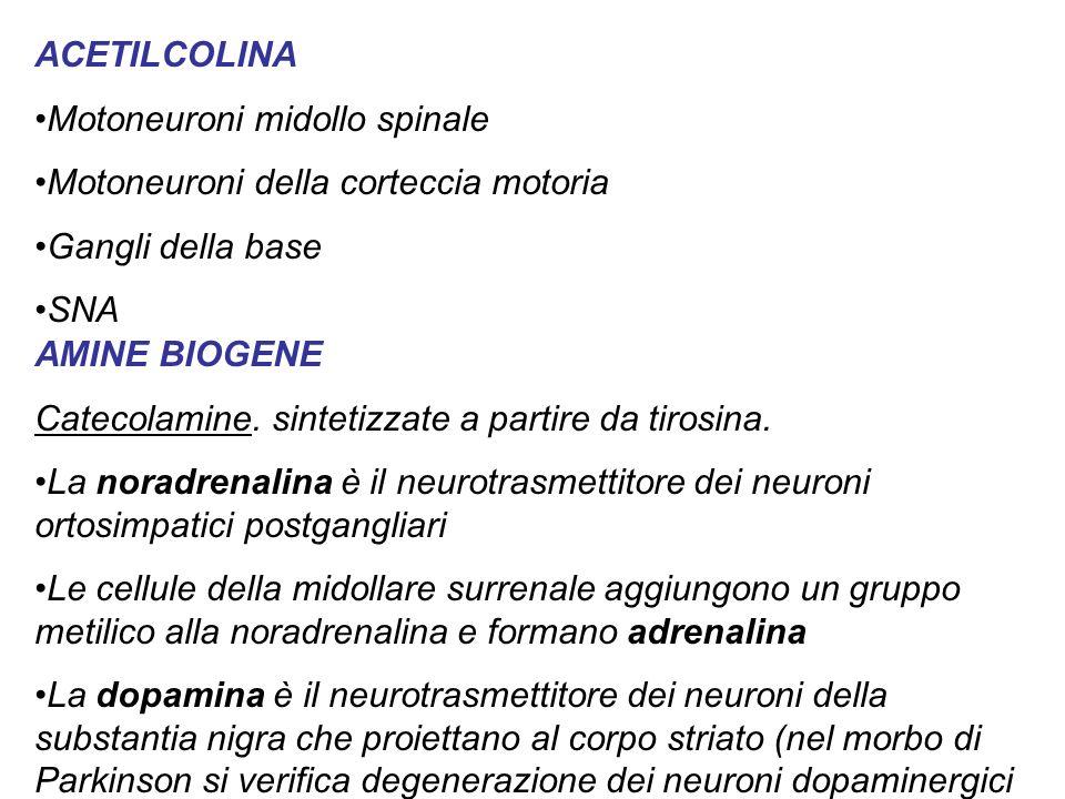 ACETILCOLINA Motoneuroni midollo spinale. Motoneuroni della corteccia motoria. Gangli della base.