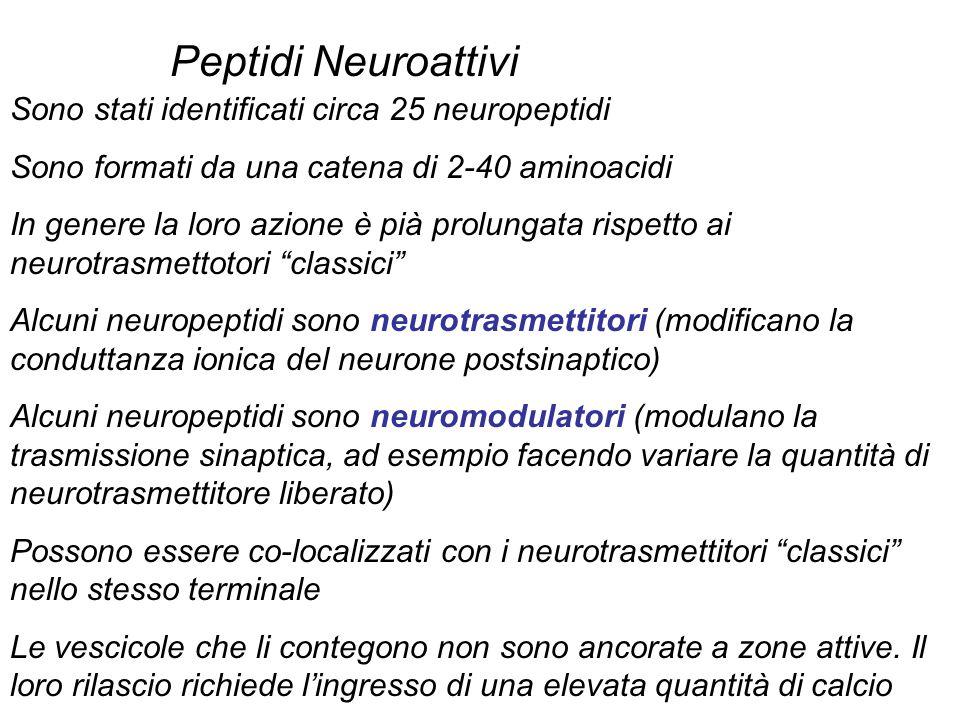 Peptidi Neuroattivi Sono stati identificati circa 25 neuropeptidi