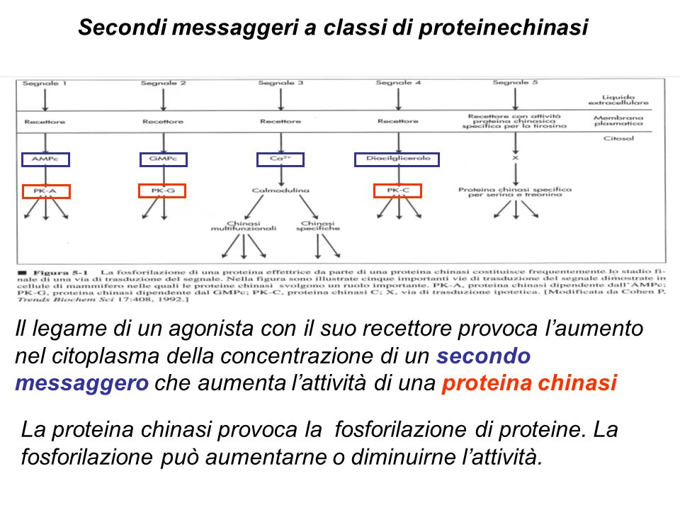 Secondi messaggeri a classi di proteinechinasi