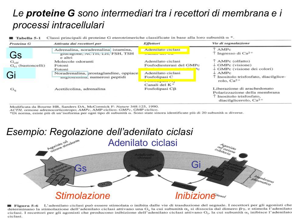 Le proteine G sono intermediari tra i recettori di membrana e i processi intracellulari