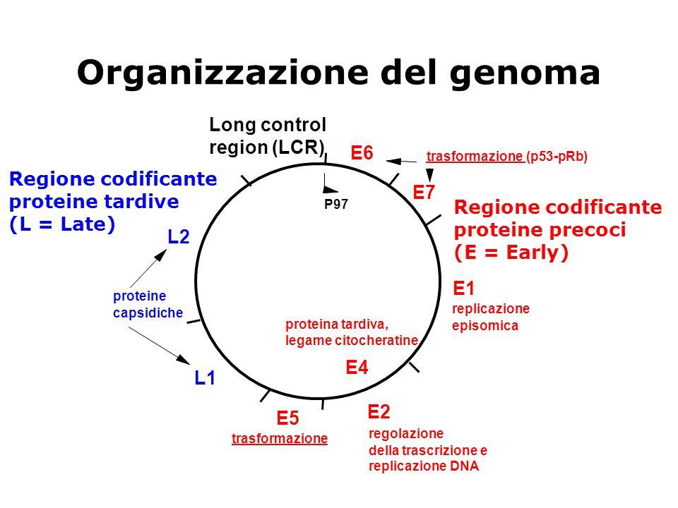 Organizzazione del genoma