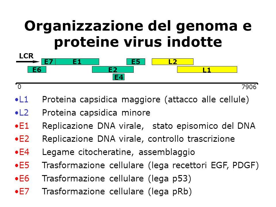 Organizzazione del genoma e proteine virus indotte