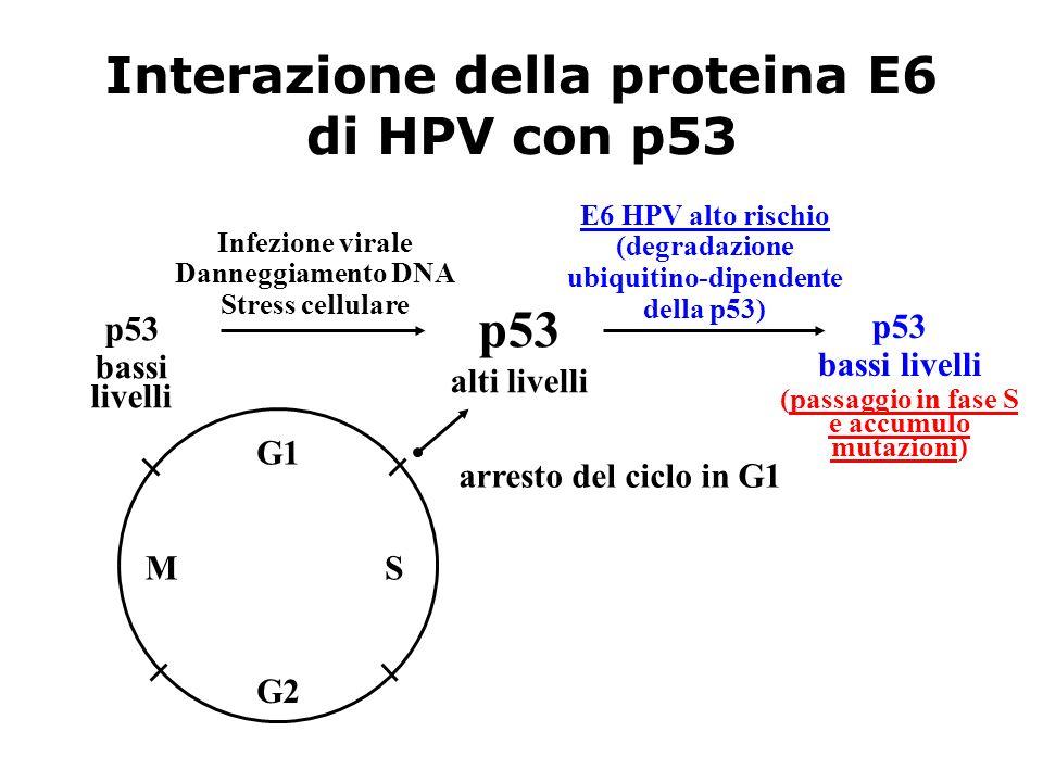 Interazione della proteina E6 di HPV con p53