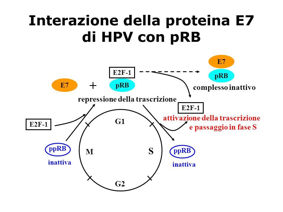 Interazione della proteina E7 di HPV con pRB
