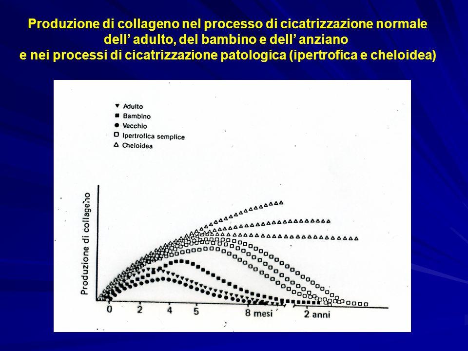 Produzione di collageno nel processo di cicatrizzazione normale