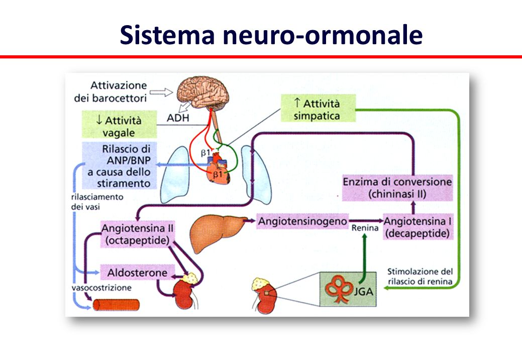 Sistema neuro-ormonale