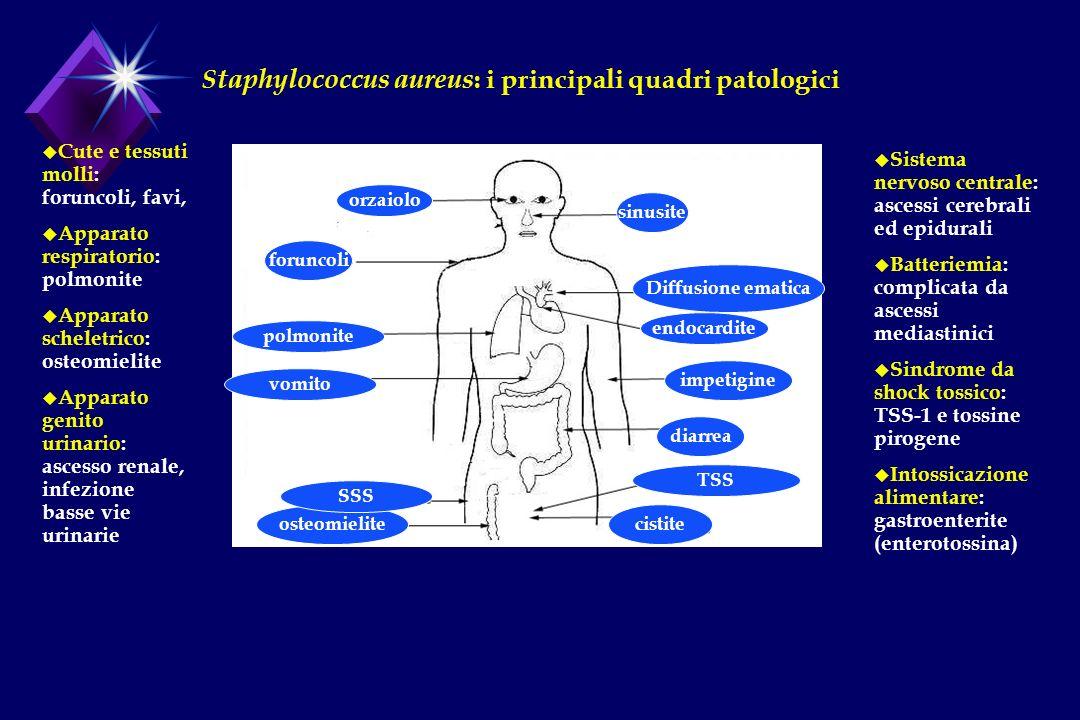 Staphylococcus aureus: i principali quadri patologici