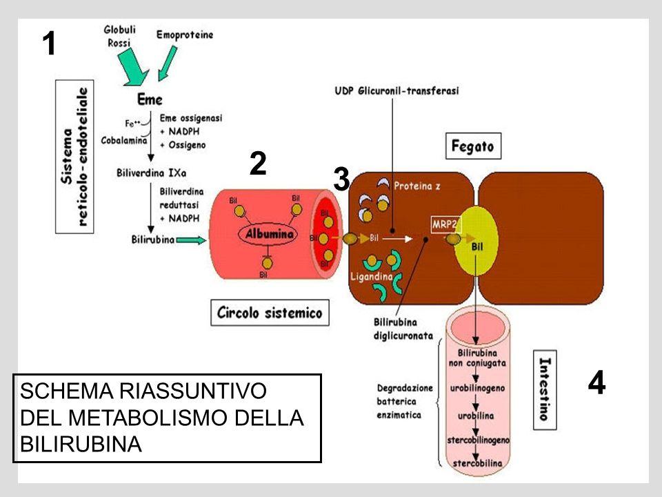 1 2 3 4 SCHEMA RIASSUNTIVO DEL METABOLISMO DELLA BILIRUBINA