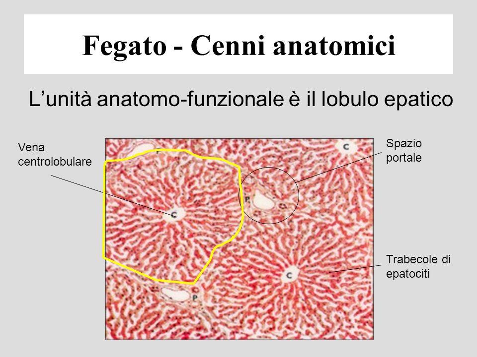 Fegato - Cenni anatomici