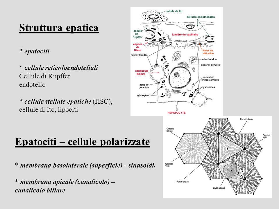 Epatociti – cellule polarizzate