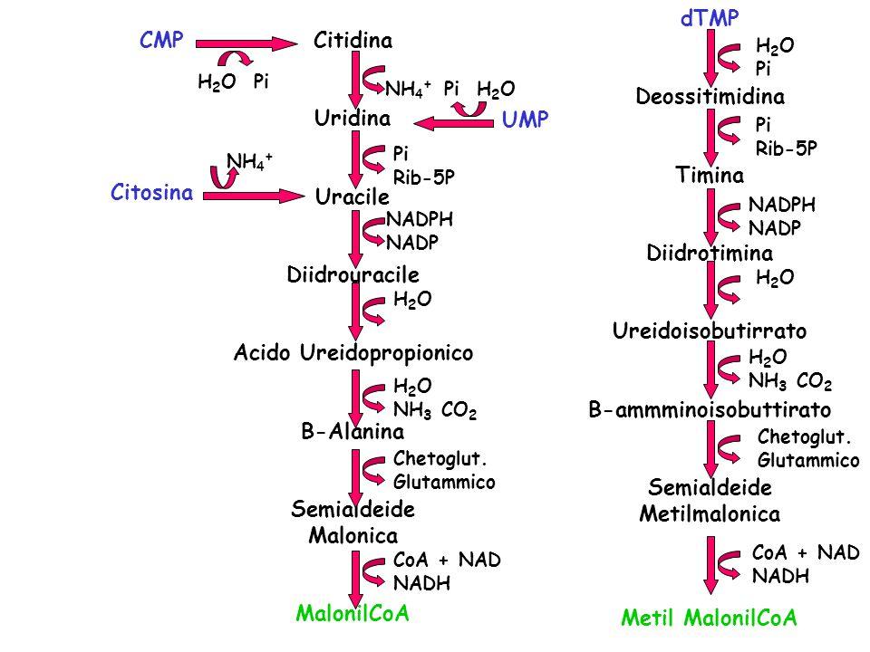 B-ammminoisobuttirato Acido Ureidopropionico