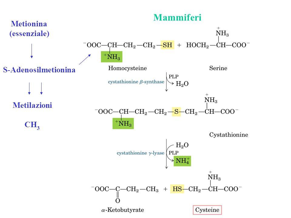 Mammiferi Metionina (essenziale) S-Adenosilmetionina Metilazioni CH3