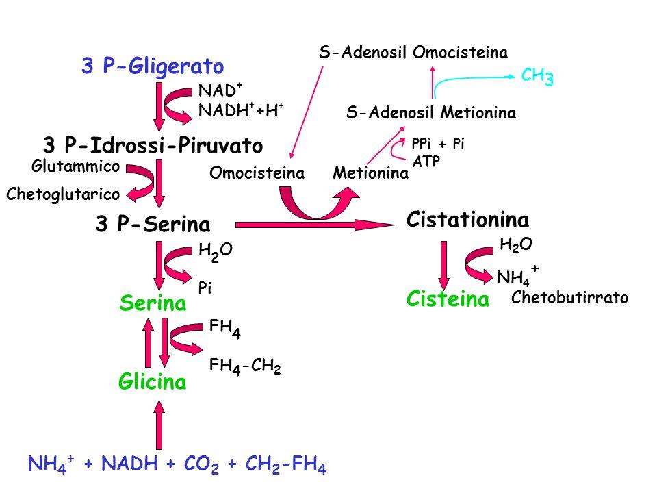 S-Adenosil Omocisteina Omocisteina Metionina