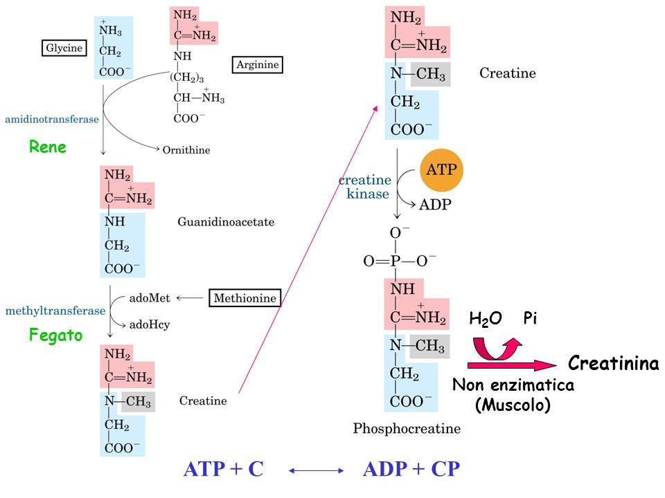ATP + C ADP + CP Creatinina Rene H2O Pi Fegato Non enzimatica