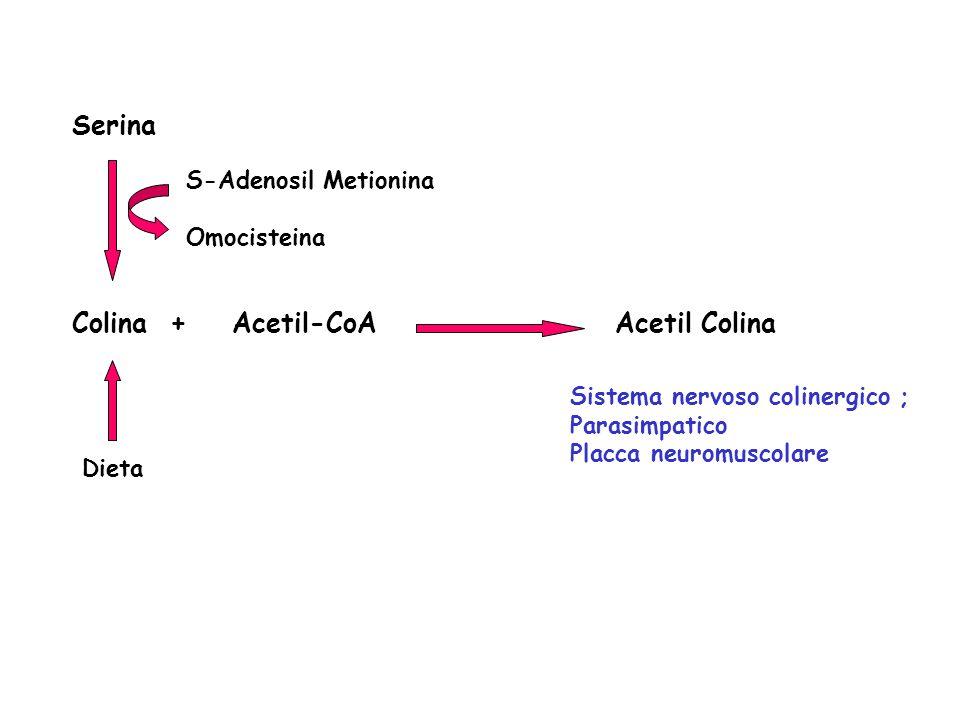 Colina + Acetil-CoA Acetil Colina