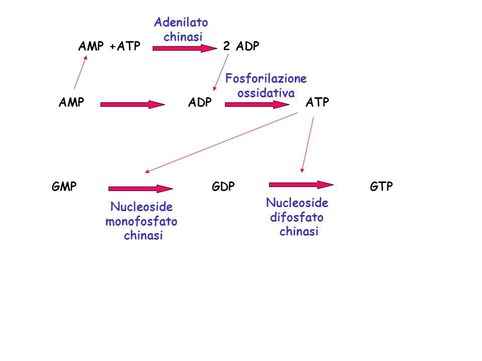 Adenilato chinasi. AMP +ATP 2 ADP. Fosforilazione. ossidativa. AMP ADP ATP.