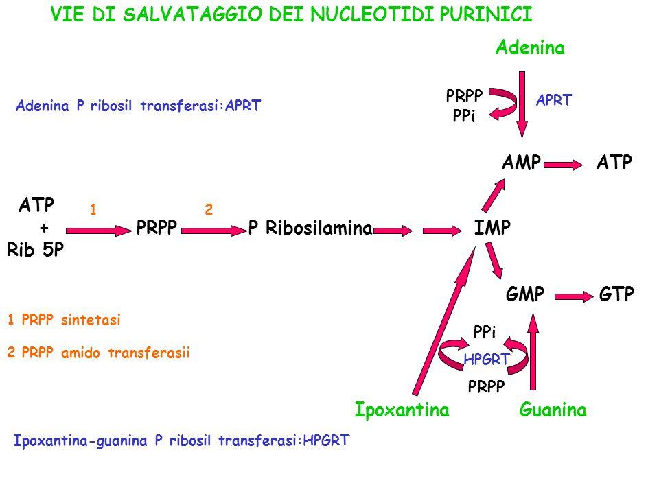 ATP VIE DI SALVATAGGIO DEI NUCLEOTIDI PURINICI Adenina AMP ATP
