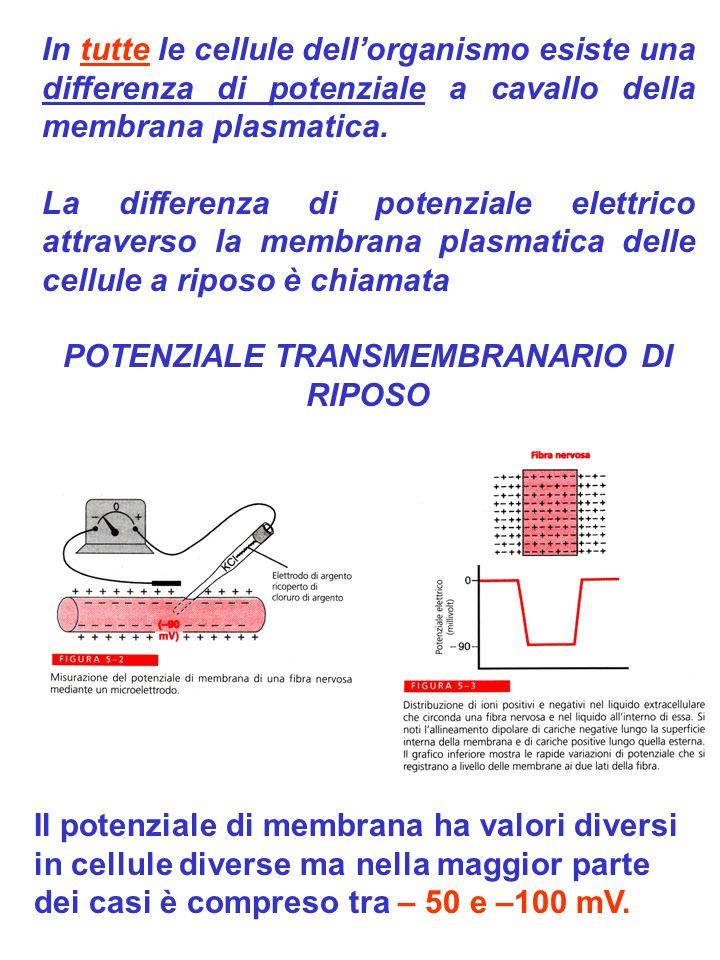 POTENZIALE TRANSMEMBRANARIO DI RIPOSO