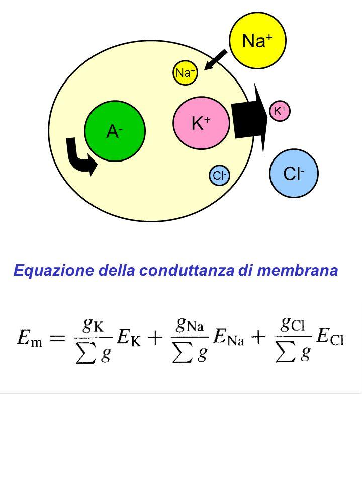 Na+ Na+ K+ A- K+ Cl- Cl- Equazione della conduttanza di membrana