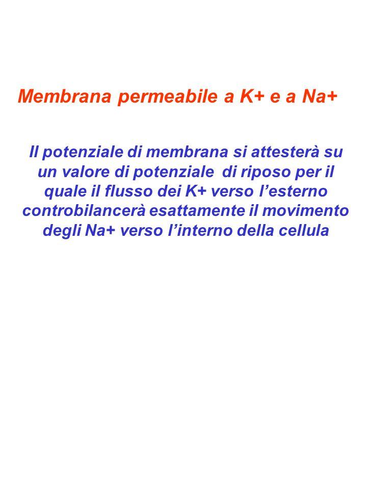 Membrana permeabile a K+ e a Na+
