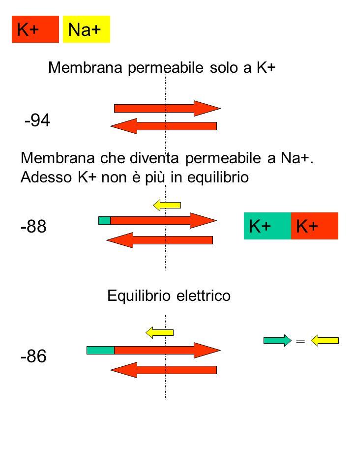 K+ Na+ -94 -88 K+ K+ -86 Membrana permeabile solo a K+