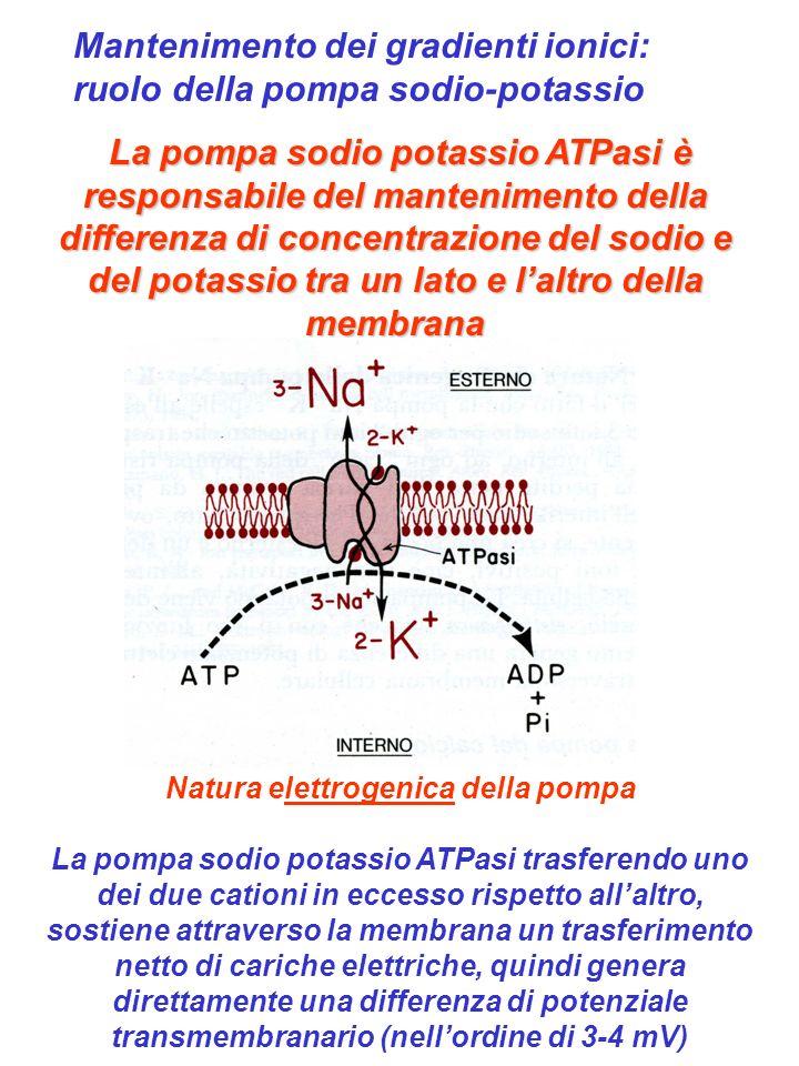 Natura elettrogenica della pompa