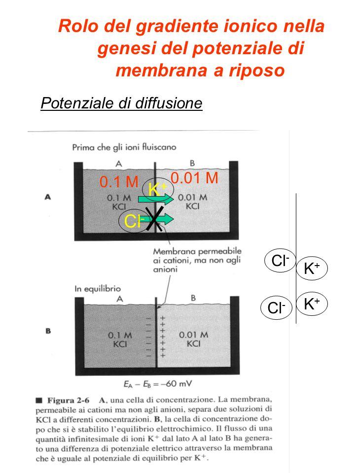 Rolo del gradiente ionico nella genesi del potenziale di membrana a riposo