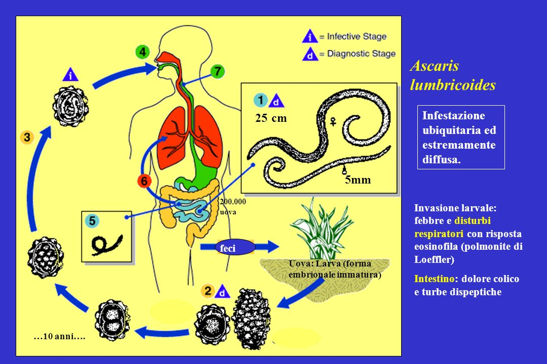 Ascaris lumbricoides 25 cm Infestazione ubiquitaria ed estremamente