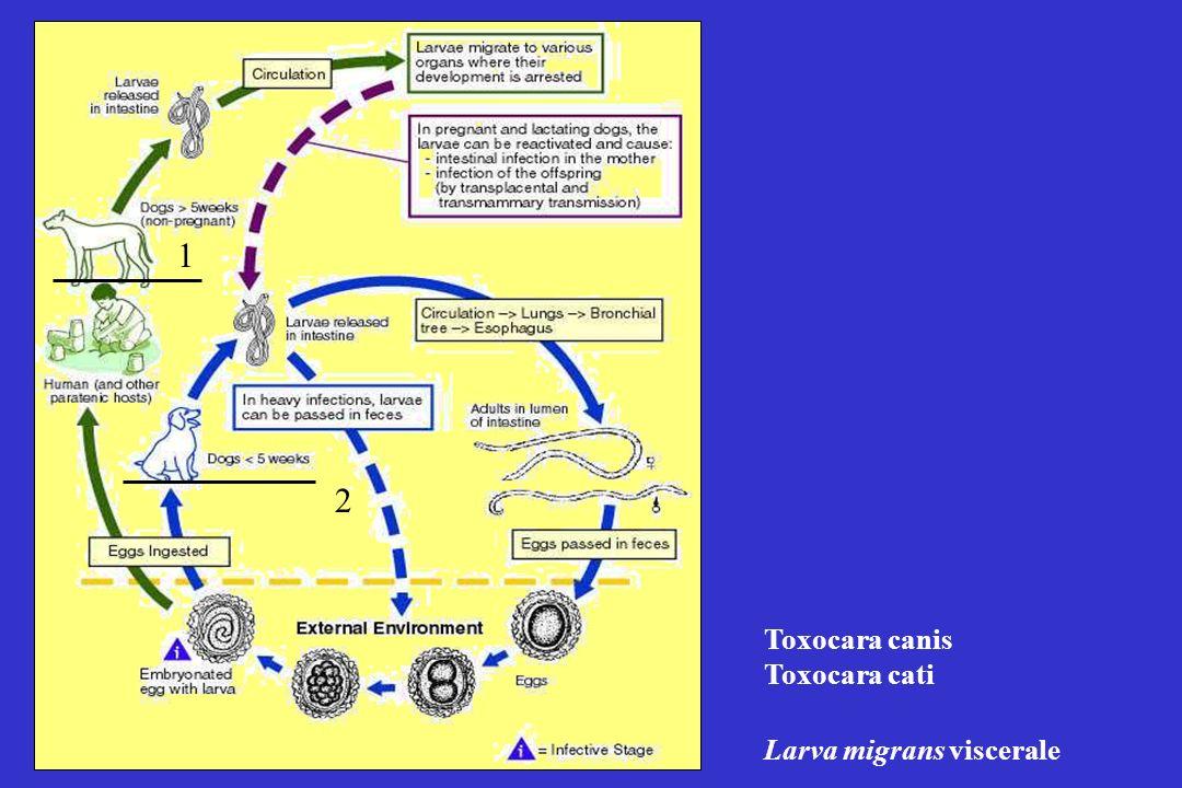 1 2 Toxocara canis Toxocara cati Larva migrans viscerale