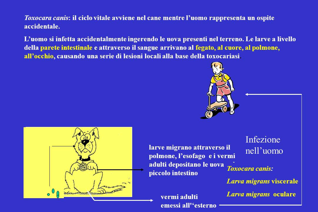 Toxocara canis: il ciclo vitale avviene nel cane mentre l'uomo rappresenta un ospite accidentale.