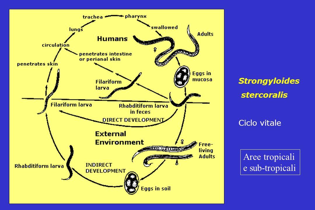 Strongyloides stercoralis Ciclo vitale Aree tropicali e sub-tropicali