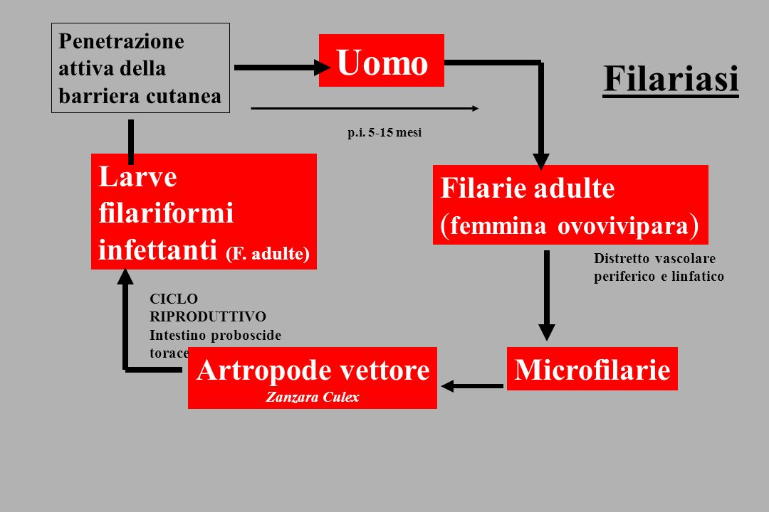 Uomo Filariasi Larve filariformi infettanti (F. adulte) Filarie adulte