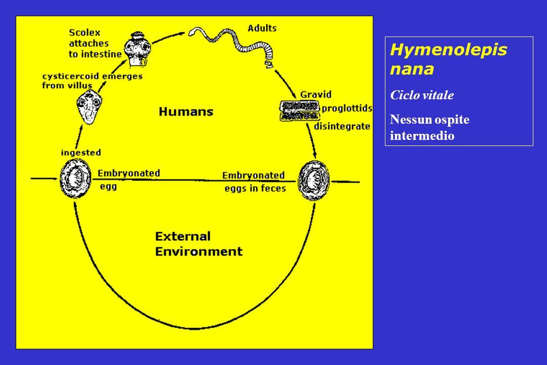 Hymenolepis nana Ciclo vitale Nessun ospite intermedio