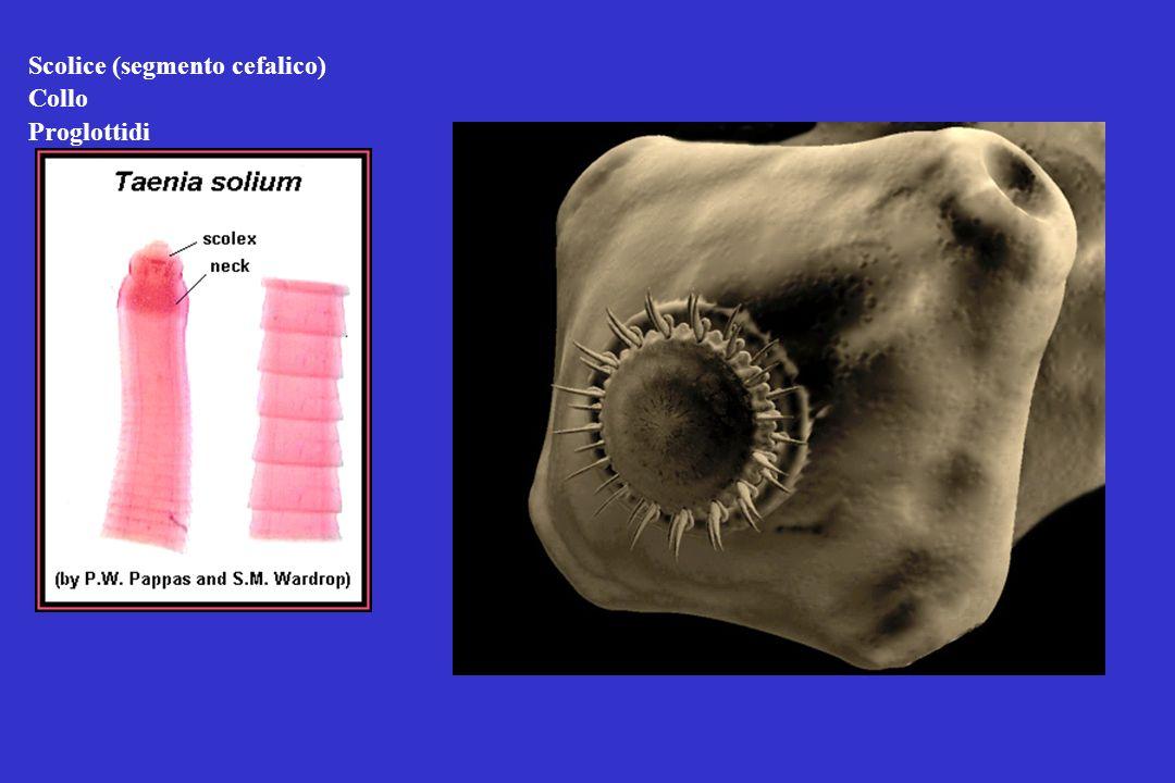 Scolice (segmento cefalico)