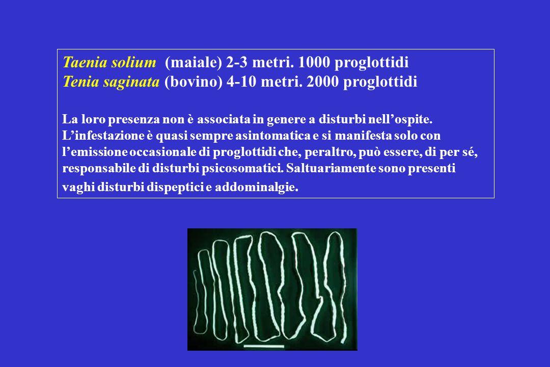 Taenia solium (maiale) 2-3 metri. 1000 proglottidi