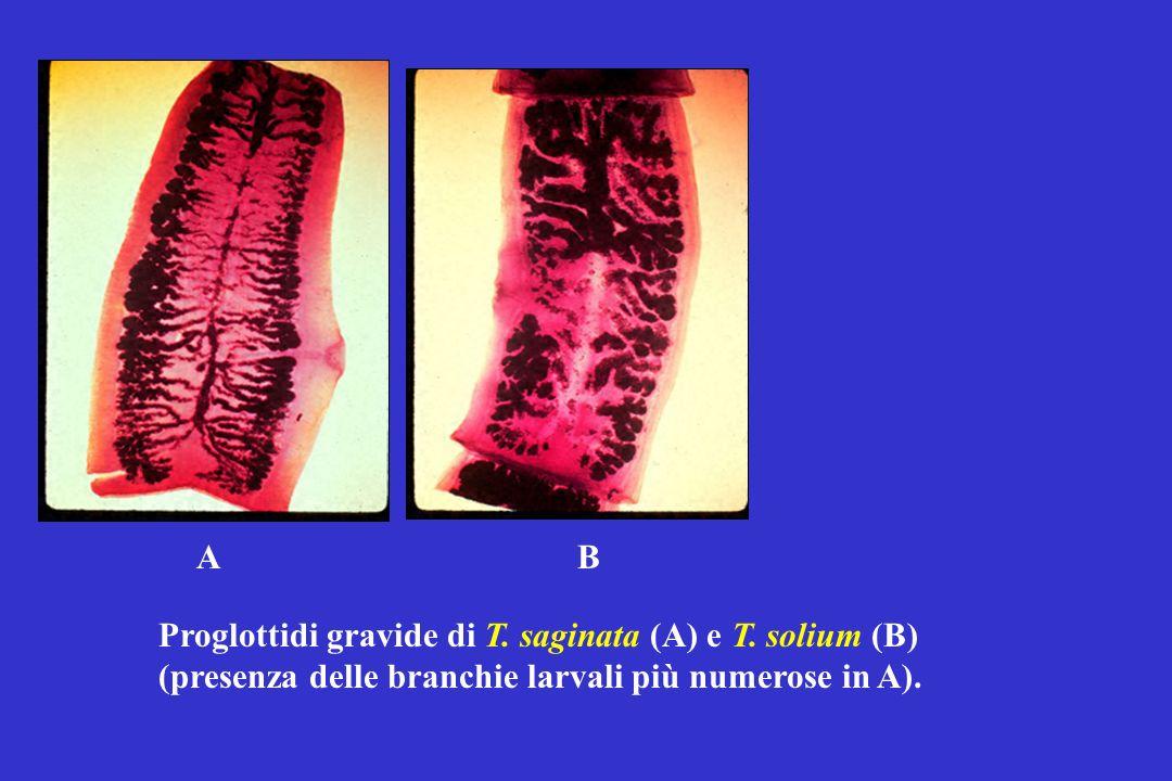 A B. Proglottidi gravide di T. saginata (A) e T.